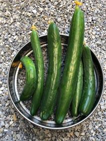 S-Photo-cucumber8.JPG